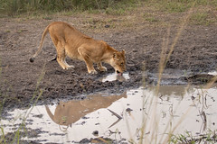 Lioness in Murchinson Falls National park (Bruno Conjeaud) Tags: lionne murchinson uganda lioness wild