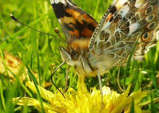 Painted Lady..x