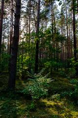 18-08_T2CF1143-LR (Jacek P.) Tags: poland polska podlasie las drzewa tree forest