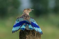 Just hanging out... (chandra.nitin) Tags: animal bird indianroller nature outdoor rain wildlife sayyadmohamadpur haryana india