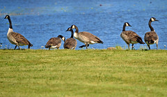 The Canada geese. Summer. Finland. Lake Päijänne. (L.Lahtinen (nature photography)) Tags: finland summer canadagoose kanadanhanhet nature nikond3200 nikkor55300mm naturephotography linnut suomi luontokuvaus birdlife wildlife päijänne autumnmigration muuttolinnut majutvesi