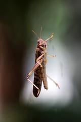 Heuschrecke (mux68-uh) Tags: zoo tierpark hellabrunn tierparkhellabrunn münchen munich heuschrecke