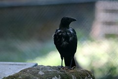 Krähe (mux68-uh) Tags: zoo tierpark hellabrunn tierparkhellabrunn münchen munich krähe crow