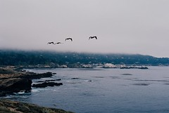 Flight (bingley0522) Tags: nikkormatft3 nikkor50mmf18 ektar100 pointlobos coastalcalifornia california coastal pelicans autaut