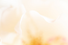 239/365: Whispering softly (judi may) Tags: 365the2018edition 3652018 day239365 27aug18 macro macromonday macromondays definingbeauty beauty beautiful soft softness barelythere highkey rose petals flower floral canon5d pastel abstract abstraction bokeh depthoffield dof blur