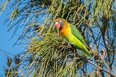 Lovebird 500_9573.jpg (Mobile Lynn) Tags: nature birds parrotfamily lovebird bird fauna parrot parrots psittaciformes psittacoidea psittaculidae wildlife playablanca canarias spain es
