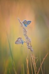 common blue (epioxi) Tags: epioxi commonblue butterfly bläuling bướm bươmbướm hauhechelbläuling polyommatusicarus