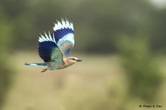 # Indian Roller...........in flight !! (Prem K Dev) Tags: indian india roller bif flight blue bokeh bird beautiful jay wildlife wonderful avian attractive artistic action cream composition colourful nature chennai siruthavur outskirts lovely green bg