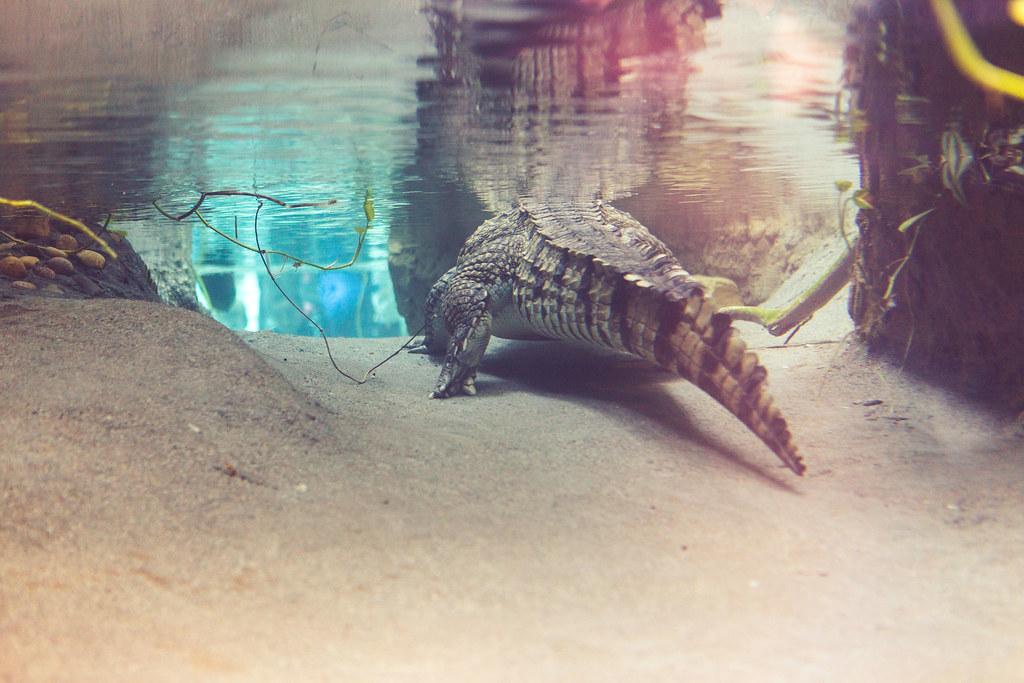 488da5ee06463 Dublin Zoo (Strangelove 1981) Tags  2018 dublin lanning ireland reptile  crocodile westafricancrocodile water