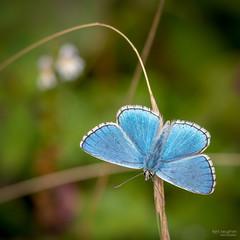 Common Blue (Mr Aylesbury) Tags: 2018 england dmcgx8 insect countryside summer buckinghamshire macro butterfly bucks uk closeup lumix commonblue chilterns karlvaughan panasonic