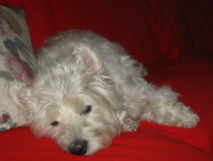 8/12B ~ Riley, After Surgery! (ellenc995) Tags: riley westie westhighlandwhiteterrier 12monthsfordogs18 surgery thesunshinegroup coth alittlebeauty fantasticnature coth5 platinumheartaward thegalaxy challengeclub 100commentgroup sunrays5