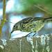 Yellow-rumped Warbler Immature Myrtle(Setophaga coronata)