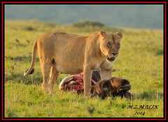 FEMALE LIONESS (Panthera leo) WITH HER KILL.....MASAI MARA......SEPT 2014 (M Z Malik) Tags: nikon d3x 200400mm14afs kenya africa safari wildlife masaimara kws exoticafricanwildlife exoticafricancats flickrbigcats lioness leo ngc npc