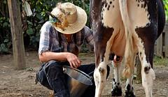 Tout frais ... euhhhh, tiède !!! (Terra Pixelis) Tags: nikond810 alsace hautrhin 68 écomusée ungersheim vache lait
