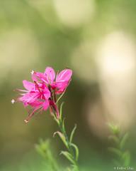 Pink flower (✦ Erdinc Ulas Photography ✦) Tags: lenstagger pink flower nature grass bokeh focus macro close green smooth background vintage canon panasonic turkey colourful