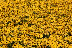 Field of yellow (tommyajohansson) Tags: faved essex unitedkingdom uk england tommyajohansson geotagged audleyend englishheritage statelyhome