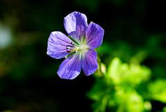 6M7A3244 (hallbæck) Tags: flora fiore flore blomst blå blue bistrup denmark planetearthflowers