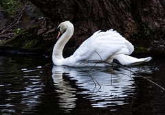 The Majesty of the Swan (Steve Taylor (Photography)) Tags: bird swan contrast white water lake newzealand nz southisland canterbury christchurch ripple reflection