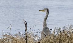 Grey Heron (Paul..A) Tags: greyheron grey heron waterbird wadingbird scotland