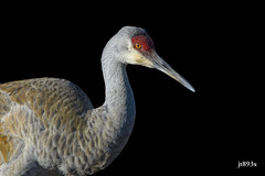 Sandhill Crane (jt893x) Tags: 150600mm antigonecanadensis bird crane d500 jt893x nikon nikond500 sandhillcrane sigma sigma150600mmf563dgoshsms thesunshinegroup coth alittlebeauty coth5 sunrays5 ngc flickrdiamond