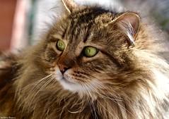 My lovely cat (Stefania Bianco) Tags: cat animal fur softy amazing lovely cutie mylove nikon reflex light greeneyes soft cool awesome