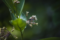 (amy buxton) Tags: amybuxton natural nature vintagelens vintage70210mmf4nikoneseries summer oldlens stlouis botanical garden pollinator insect falseskeletonizermothacoloithusfalsarius moth