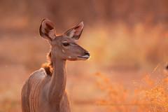 Kudu and flies at sunset (marco.valentini) Tags: kude greaterkudu tragelaphusstrepsiceros botswana chobenationalpark okawango bovidae marcovalentini sunset flies female