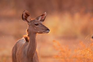 Kudu and flies at sunset