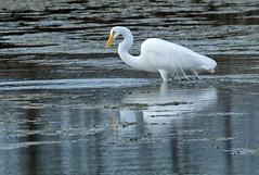 White heron - great egret - kotuku - Ardea alba (Maureen Pierre) Tags: whiteheron ardeaalba large white bird native feeding wading breeding plumes feathers