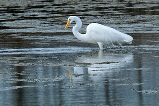 White heron - great egret - kotuku - Ardea alba
