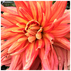 Dahlia Beauty - HMM! (karma (Karen)) Tags: baltimore maryland cylburnarboretum parks gardens flowers dahlias macros macromonday definingbeauty hmm squared iphone cmwd topf25