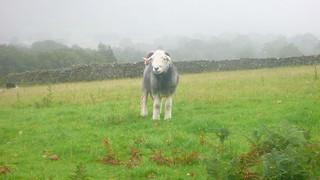 Herdwick Sheep with Broken Horn