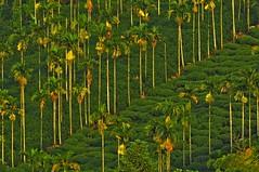 Areca palms at tea plantation (mattlaiphotos) Tags: palm areca tea teaplantation arecaplantation agriculture plant flora botanic scenery betelnut countryside farm taiwan
