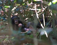 IMGP7261 Chimpanzee (Claudio e Lucia Images around the world) Tags: rubondoisland lakevictoria tanzania chimpanzee chimps scimpanzé pan scimmia primate chimp jungle forest rubondo asilia africa pentax pentaxk3ii sigma sigma50500 bigma sigmaart pentaxart