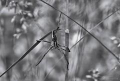 Just hanging around (Jan Fenkhuber Photography) Tags: animal insect macro photography photo spider blackampwhite bampw grassanimalgrassinsectmacrospider