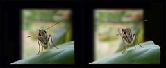 Skipper butterfly (DocJ96) Tags: stereo 3d crossview crosseyes macro