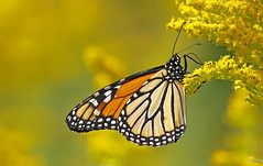 Monarque / Monarch (alainmaire71) Tags: papillon butterfly monarch monarque danausplexippus nature quebec canada bokeh jaune yellow
