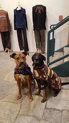20180102_125504 (Alpen Schatz - Mary Dawn DeBriae) Tags: happy customer alpenschatz bernesemountaindog dog swissdogcolar hunterswisscrosscollar doggles stein