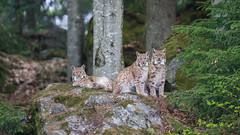 The Three Musketeers (The Wasp Factory) Tags: eurasianlynx lynx eurasischerluchs nordluchs luchs lynxlynx tierfreigeländelusen tierfreigelände lusen nationalparkbayrischerwald bavarianforestnationalpark nationalpark bayrischerwald bavarianforest national park wildpark wildlifepark tierpark