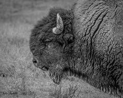 Morgan Farm Bison (flintframer) Tags: bison black white bw indiana scott county morgan farm monochrome mammals buffalo young captive usa wow dattilo canon eos 7d markii ef100400mm zoom