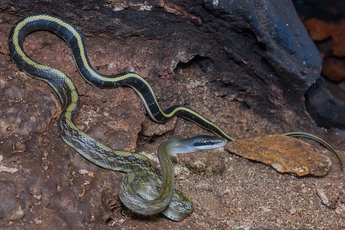 Elaphe taeniurus helfenbergeri, Cave racer - Sai Yok District, Kanchanaburi