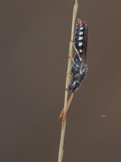 Poecilotiphia s.p.