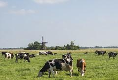 Frysk Pastoraal / Frisian Pastoral (fotofrysk) Tags: cows frisianholsteins mill windmill sky clouds meadow fields grass greenplatteland nederlan nederland netherlands friesland fryslan sigma1750mmf28exdcoxhs nikond7100 201806057150