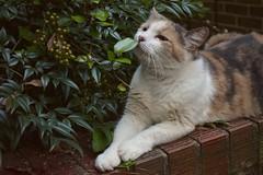 Gracie Jo (rootcrop54) Tags: graciejo neighbor neighbors female dilute calico brick wall neko macska kedi 猫 kočka kissa γάτα köttur kucing gatto 고양이 kaķis katė katt katze katzen kot кошка mačka gatos maček kitteh chat ネコ