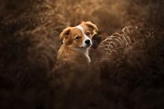 (Alice Loder) Tags: crossbreed mutt rescuedog pet canine nationalgeographic ngc dog dslr dogphotography dogportrait doggy dogportraiture rescue backlight fern gold golden autumn