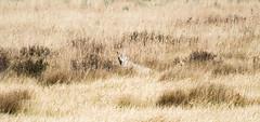 Hiding in Plain Site (CD_MT) Tags: 70200mm cdmt d4 nationalpark nikkor nikon nikond4 wyoming yellowstone yellowstonenationalpark animal canine coyote wildlife