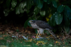 sparrowhawk (martin crossman) Tags: sparrowhawk wildlife photography