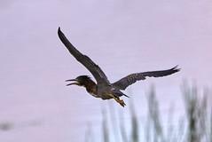 09-07-18-0034709 (Lake Worth) Tags: animal animals bird birds birdwatcher everglades southflorida feathers florida nature outdoor outdoors waterbirds wetlands wildlife wings