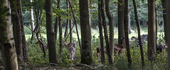 Forest life (Wouter de Bruijn) Tags: fujifilm xt2 fujinonxf90mmf2rlmwr deer herd group family animal fauna nature forest trees green hidden shy creature outdoor bokeh depthoffield westhove mantelingen oostkapelle veere walcheren zeeland nederland netherlands holland dutch