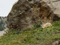 2018-09-16_9161748 © Sylvain Collet_DxO.jpg (sylvain.collet) Tags: france wild marmot marmotte nature mountains alpesdehauteprovence colmarslesalpes lacdallos montagne